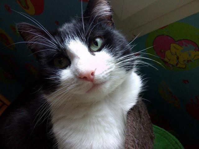KIT-KAT chat noir et blanc 1 an FIV+ (ADPK 35) 3192251243444915443925658517831176855707n