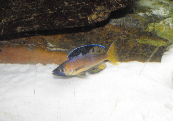 Cyprichromis leptosoma 321257DSCF2436