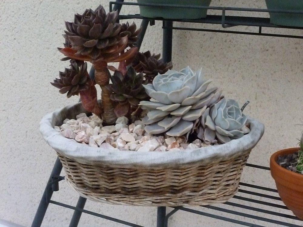 haworthia limifolia 325682P1000723