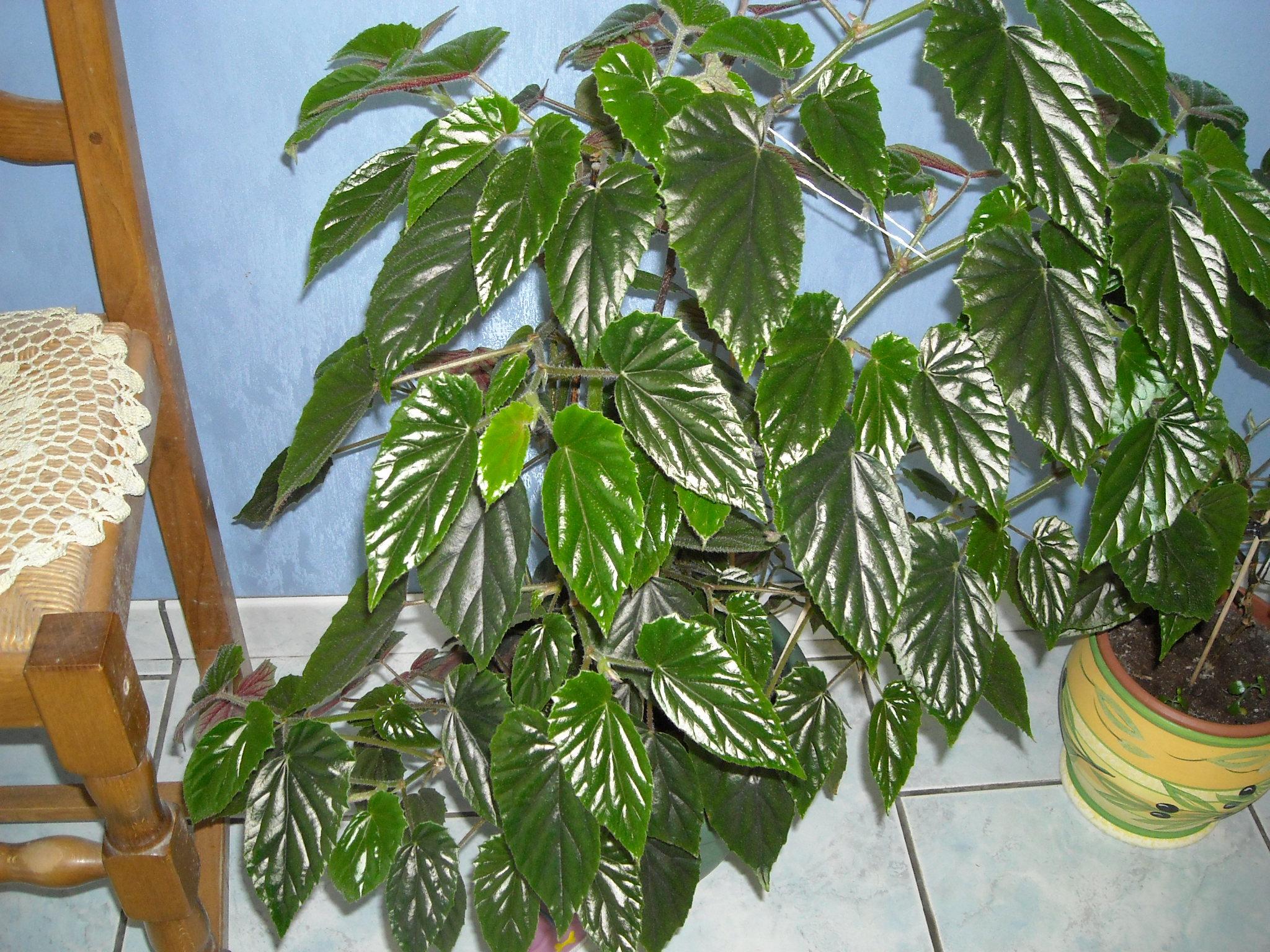 begonias - Page 3 327088mesbgonia028