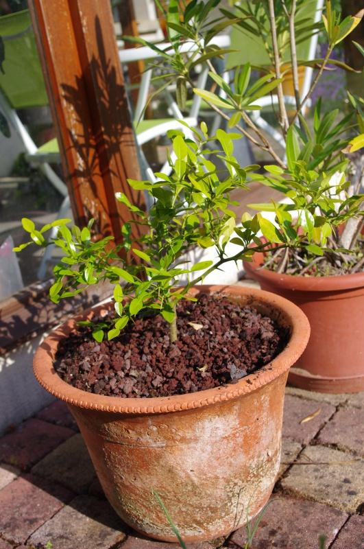Ginkgo Biloba, Eucalyptus Deglupta, Passiflora Alata ...  331603IMGP3848