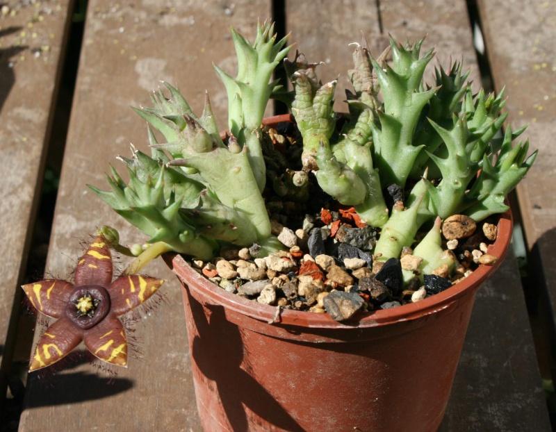 Asclepiadaceae - Saison 2013 - Page 4 333479orbeasemota