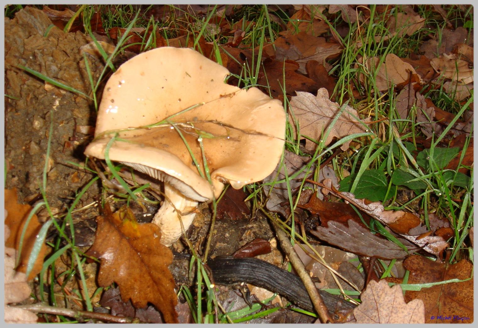 [fil ouvert] les champignons - Page 5 343811DSC011505