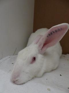 Association White Rabbit- Réhabilitation des lapins de laboratoire - Page 2 344776121415118785165955738148030241868967110613n
