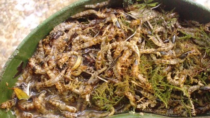 La larve de mouche de mai  350687DSC00066