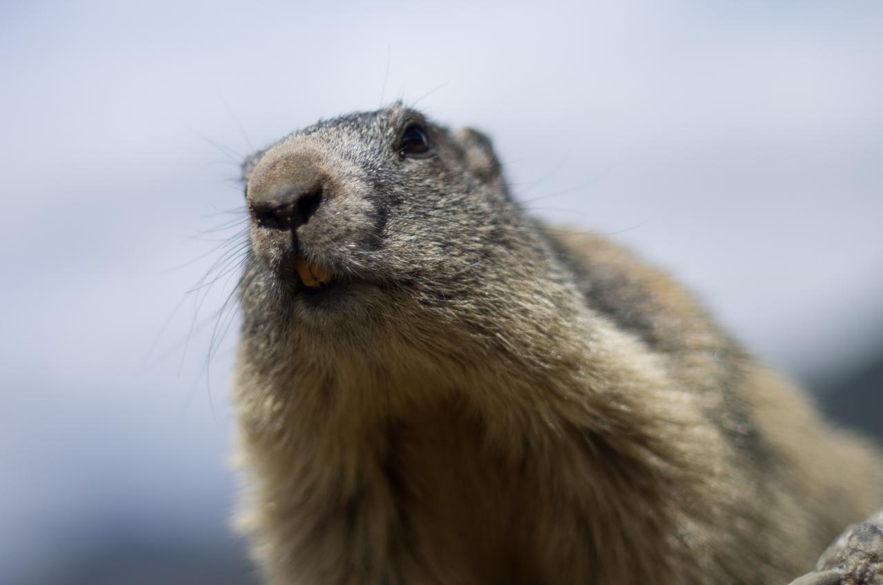 Journée de la marmotte 352229IMGP8248
