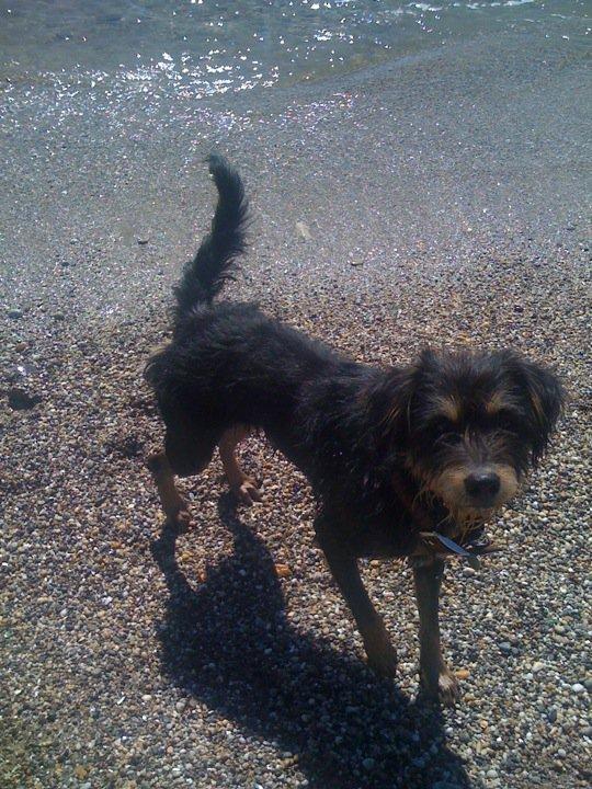Urgence pour un chien croisé Griffon 352451email