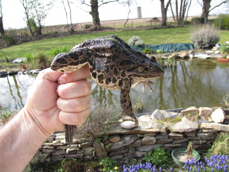 Les animaux de mon jardin 353661grenouille