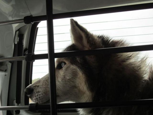 ALASKA (ex)LOUIS husky a l'attache depuis des années (m) 8 ans ref/79DECEDE     355056IMG3272
