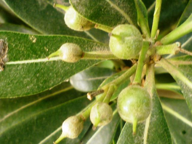 Pittosporum- un vert tendre  et une belle floraison 355900P1020331