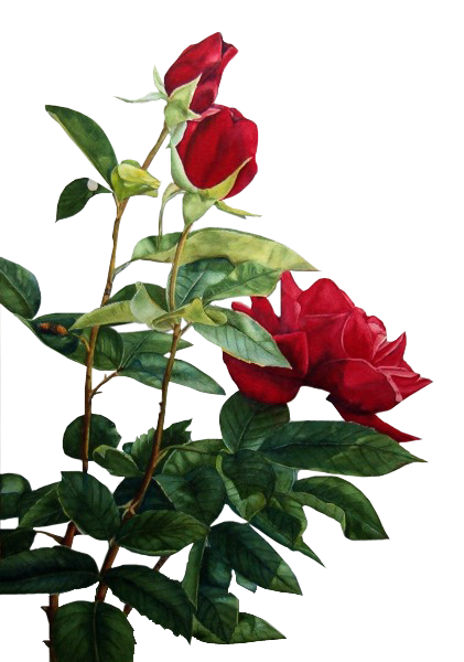Tubes roses 360422206642bd
