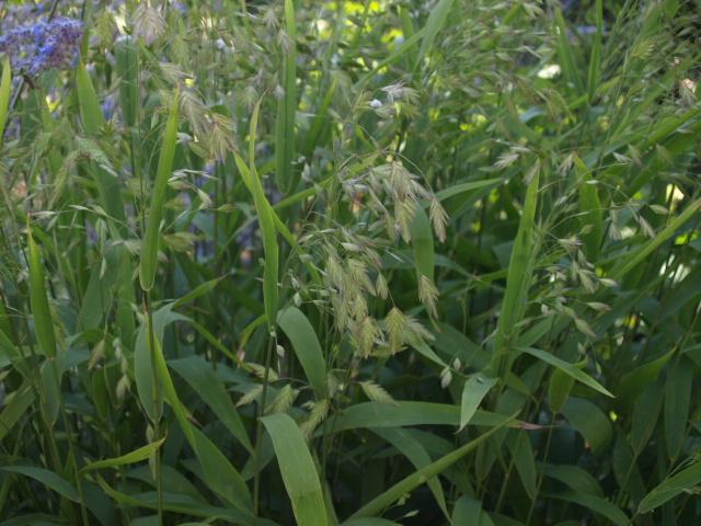 chasmanthium latifolium 365583P8119958