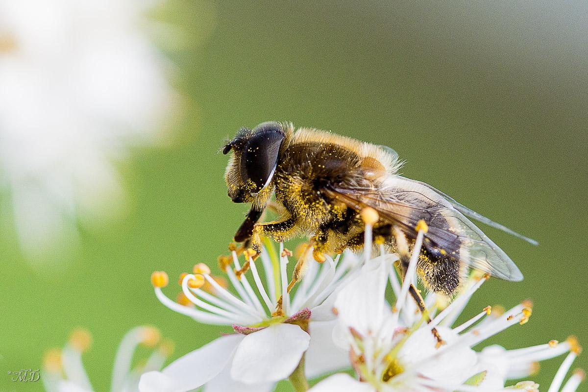 Zzzz'abeille + correction 376798IMG62192