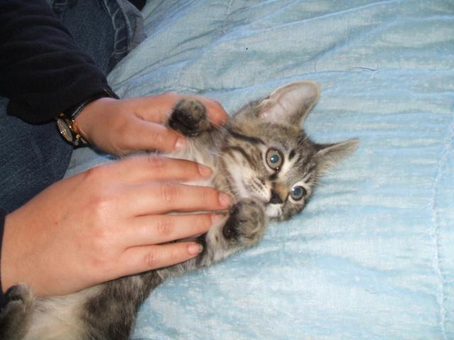 Harold type chaton européen 2 mois  adopté  par COLETTE ( 44 ) 380562harold4