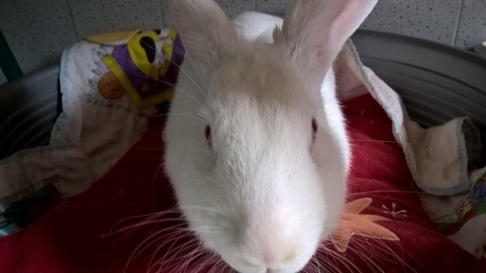 [ADOPTEE] Apple, lapine de laboratoire  389454122471928920327308888671398530653628149171n