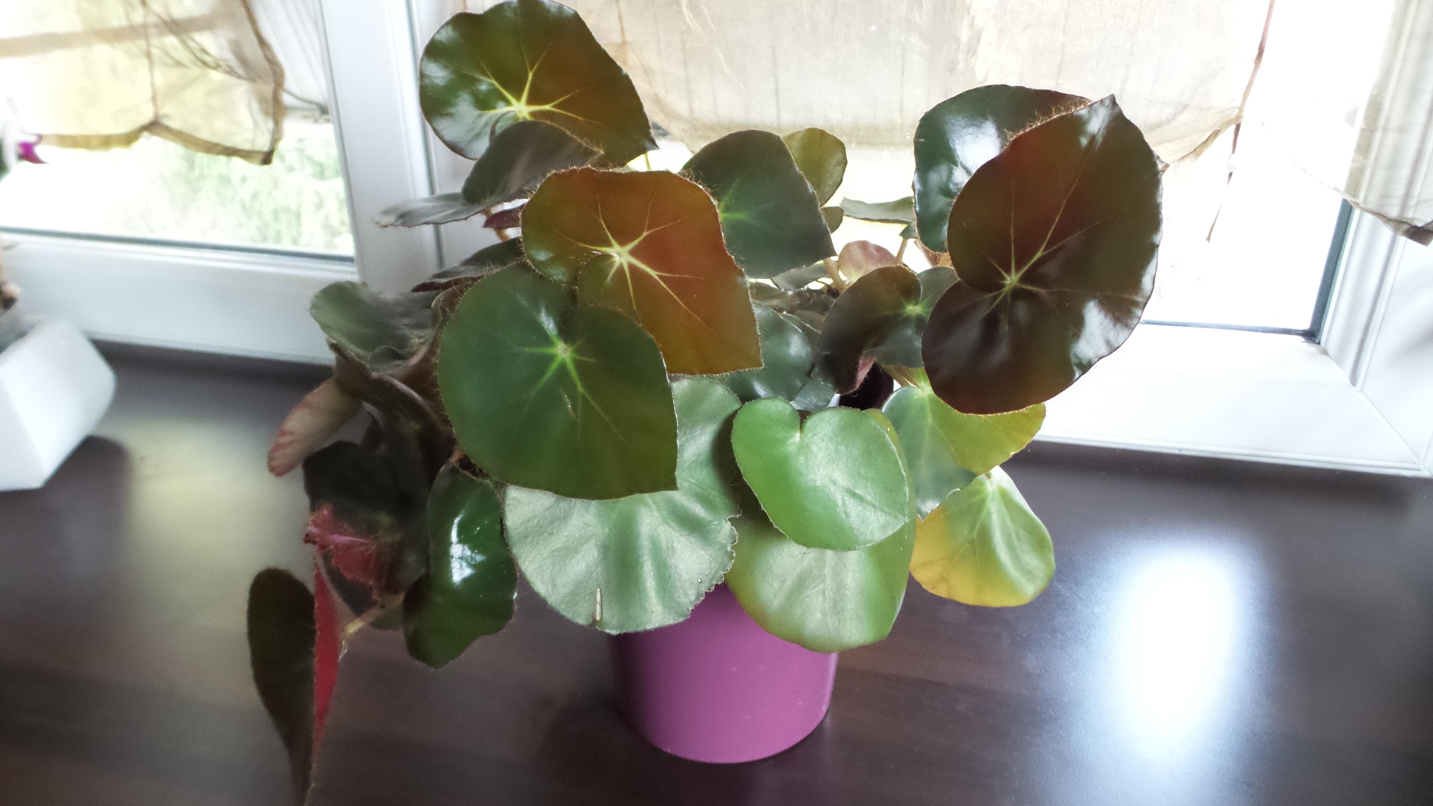 bégonias nénuphar - Begonia 'Erythrophylla'  - Page 2 39327120160701191503