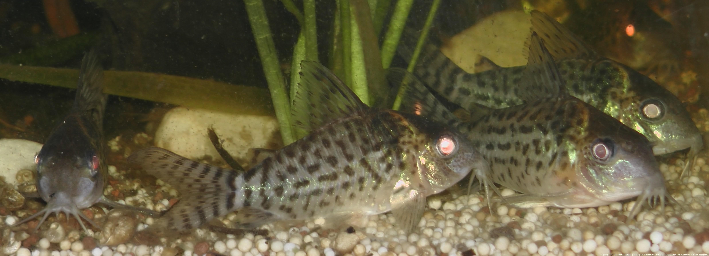 Ménagerie, plus de 3.000L d'aquariums - Page 2 393785CorydorasLeucomelas0039