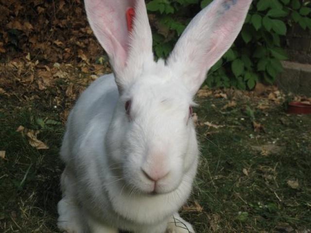 Association White Rabbit - Réhabilitation des lapins de laboratoire - Page 2 397973azur4