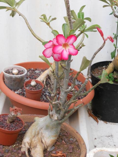 la culture et l'entretien de l'adenium (Rose du désert) - Page 5 399539DSCN2546