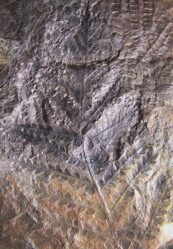 Pseudomariopteris busquetii 406302Copiade1002519