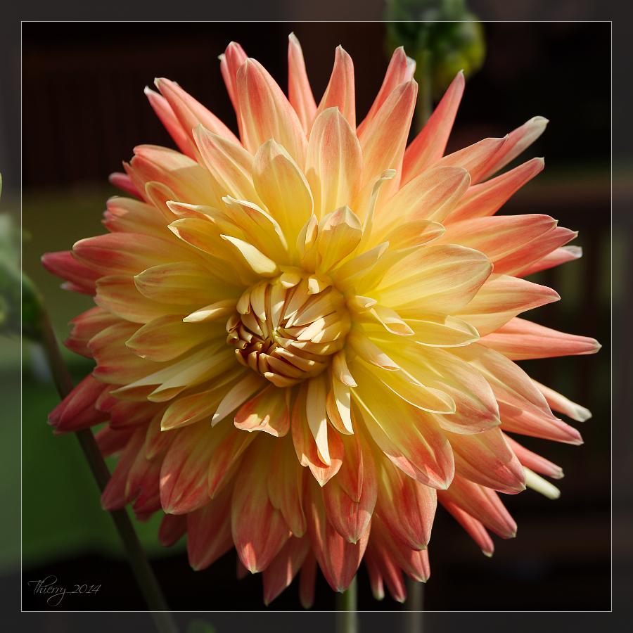 [Fil ouvert] Fleurs et plantes 412286fleurcarole