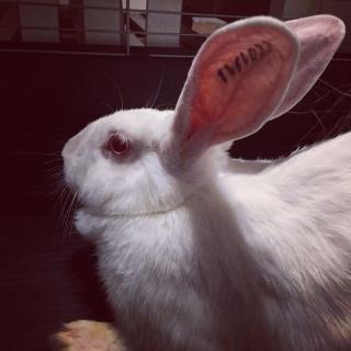 Association White Rabbit- Réhabilitation des lapins de laboratoire - Page 2 412588120747638785165522404858561178348795787350n