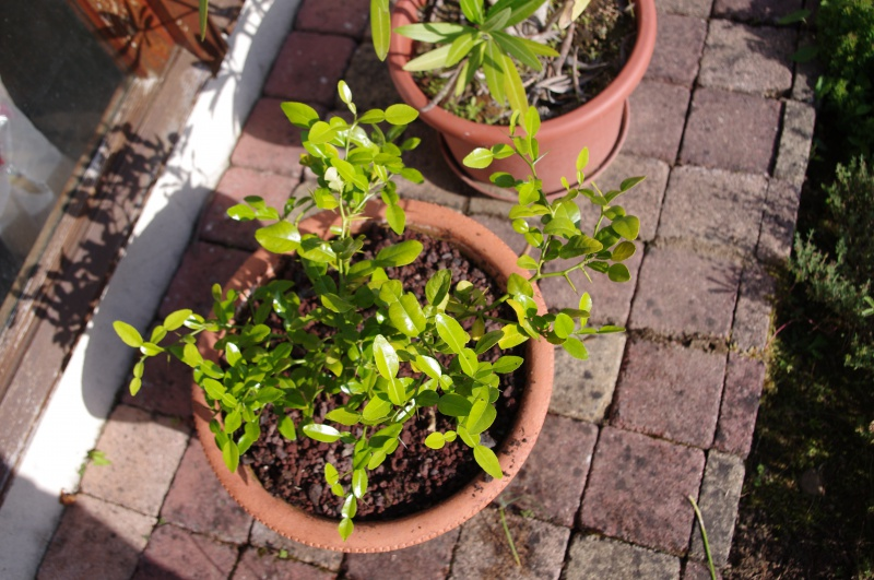 Ginkgo Biloba, Eucalyptus Deglupta, Passiflora Alata ...  413596IMGP3849