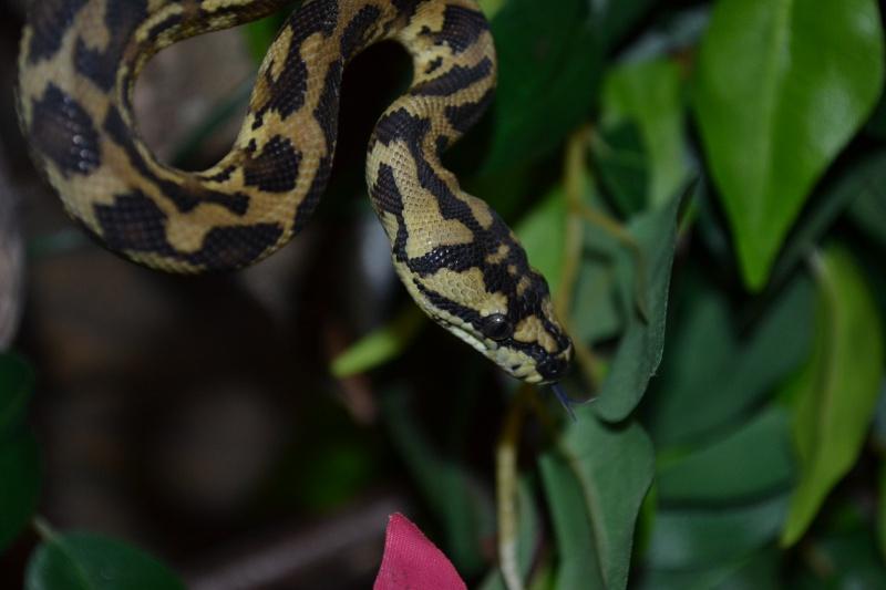 Morelia spilota variegata Irian Jaya [ Mon Wajah ] 416486DSC0119