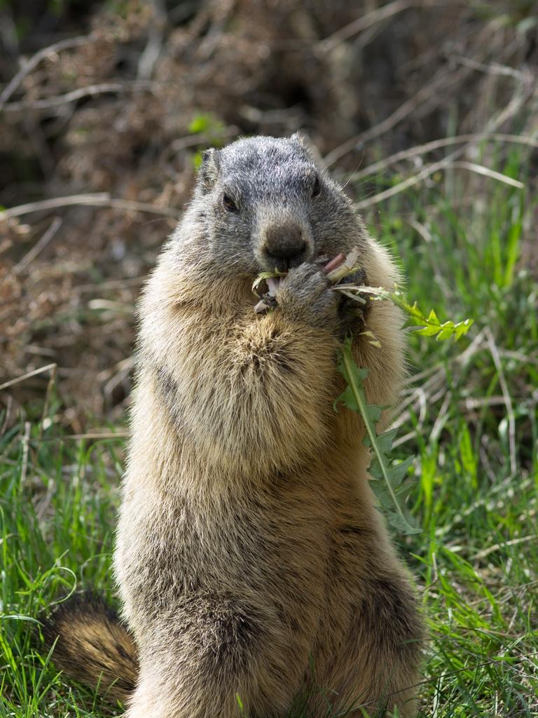 Journée de la marmotte 417935IMGP8115