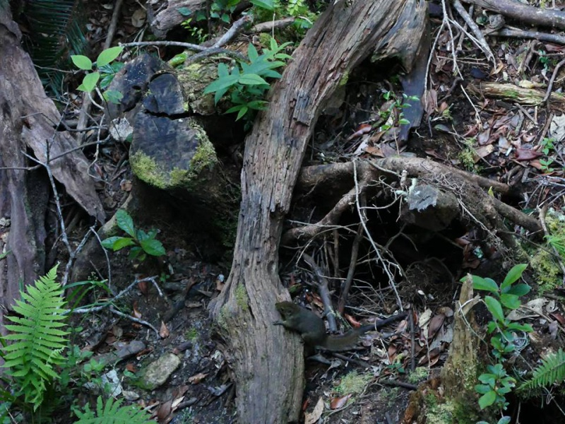 Nepenthes macrophylla sur le Mont Trus Madi à Borneo. 421970223101427969425071320516915624253686387884n