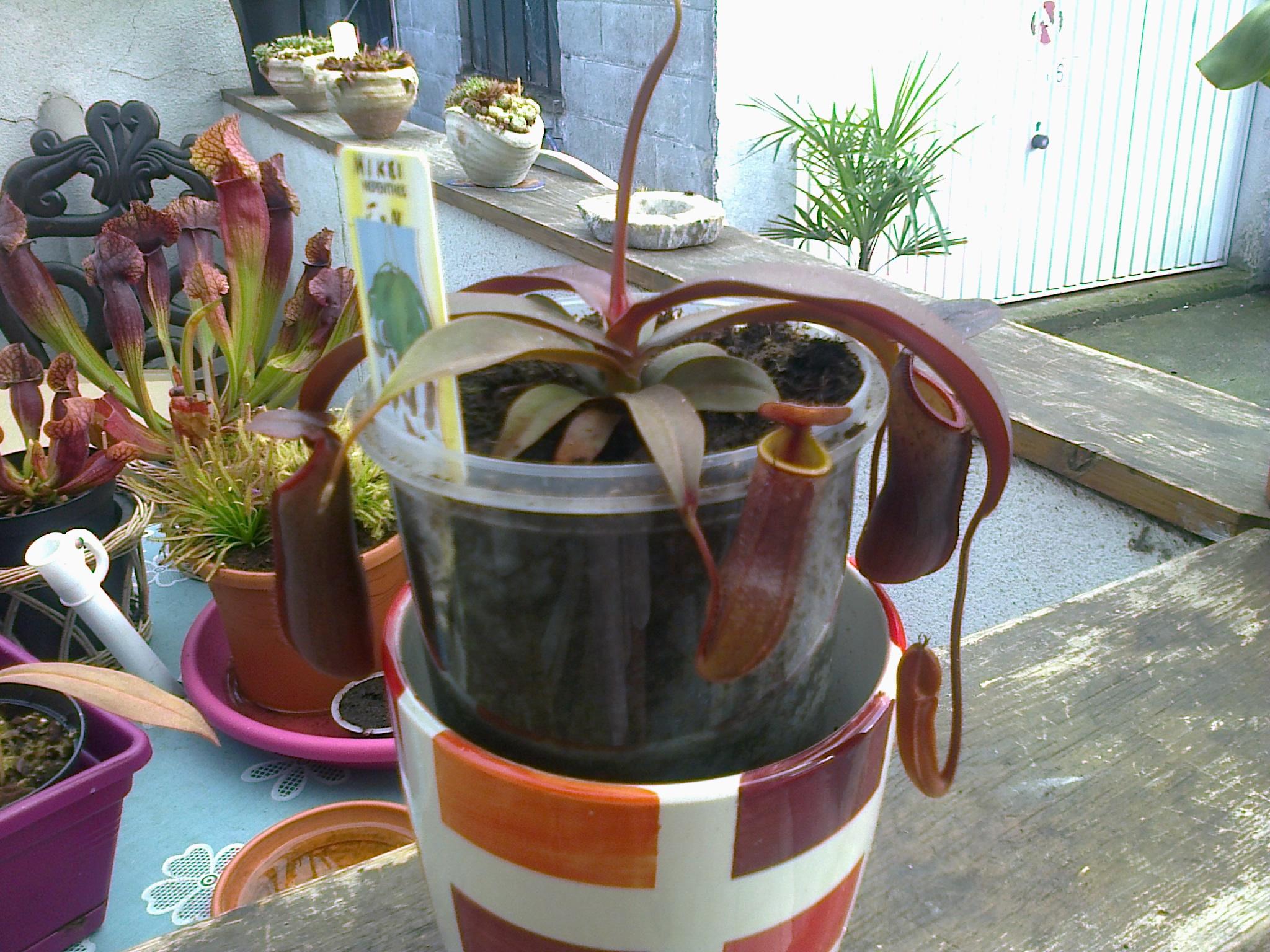 jeune plantes carnivores 431668Photo0096