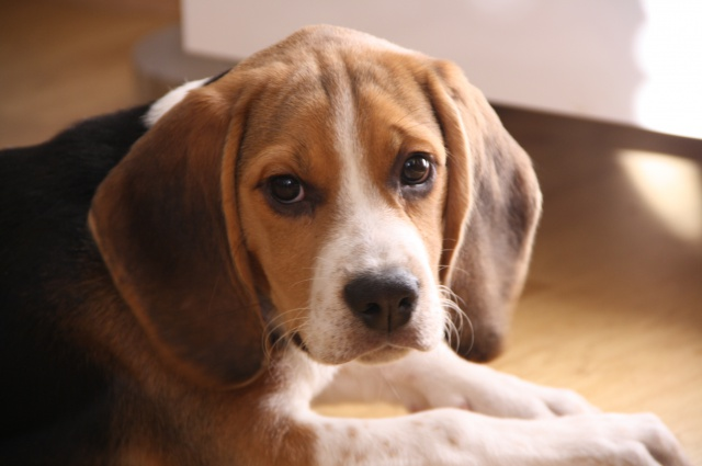 BOUNTY, chiot beagle mâle de 4 mois, à adopter (92) 433243IMG0362