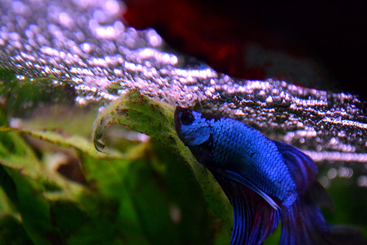 Mâle HM armadillo x Femelle HM turquoise   434385DSC0039