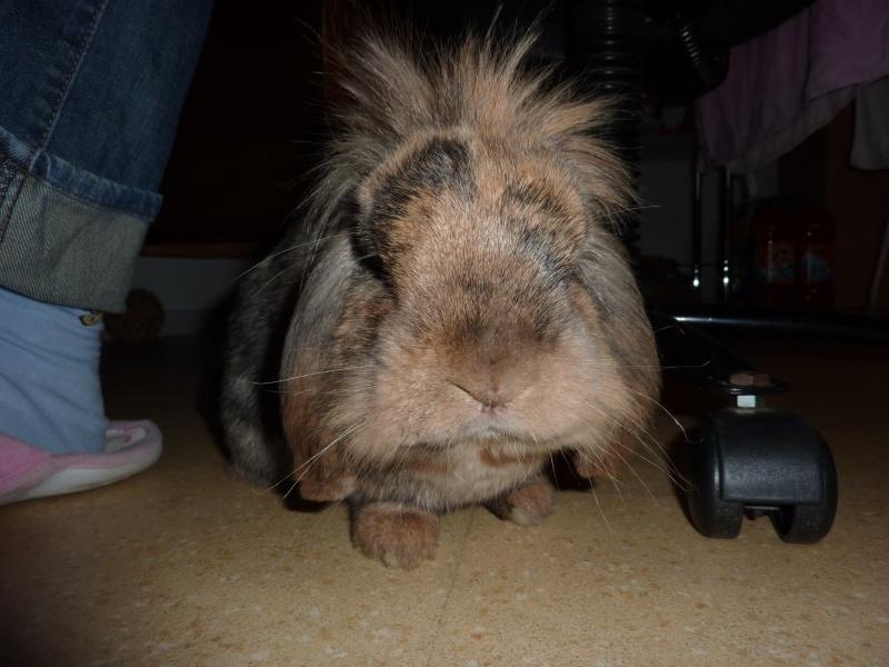 Mufasa, lapin bélier adulte [Ani-nounou] 435408P1020828