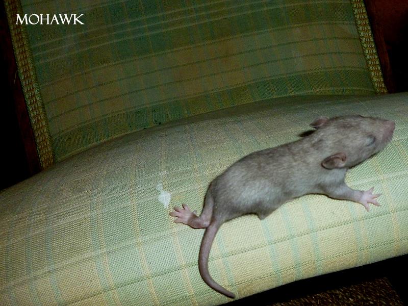 Couleur d'un raton 438422mohawk3