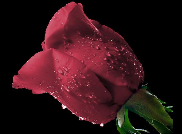 Tubes roses 438480e311cc28