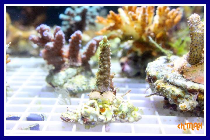 ce que j'amène en coraux a orchie  443826PXRIMG0039GF