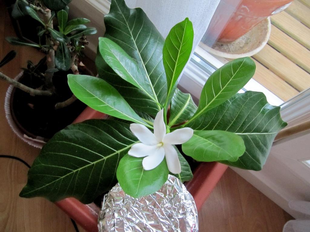 gardenia tahitensis - Page 10 444133IMG1031