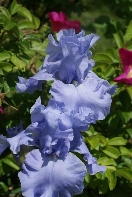 Iris barbus : les bleus immatériels... les blancs angéliques... 445104002
