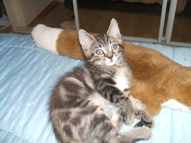 Harold type chaton européen 2 mois  adopté  par COLETTE ( 44 ) 452084harold1