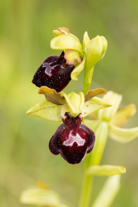 Ophrys funerea x passionis ; Ophrys X jarigei 4552737mai2015iledoleronhybridesulcatapassionis