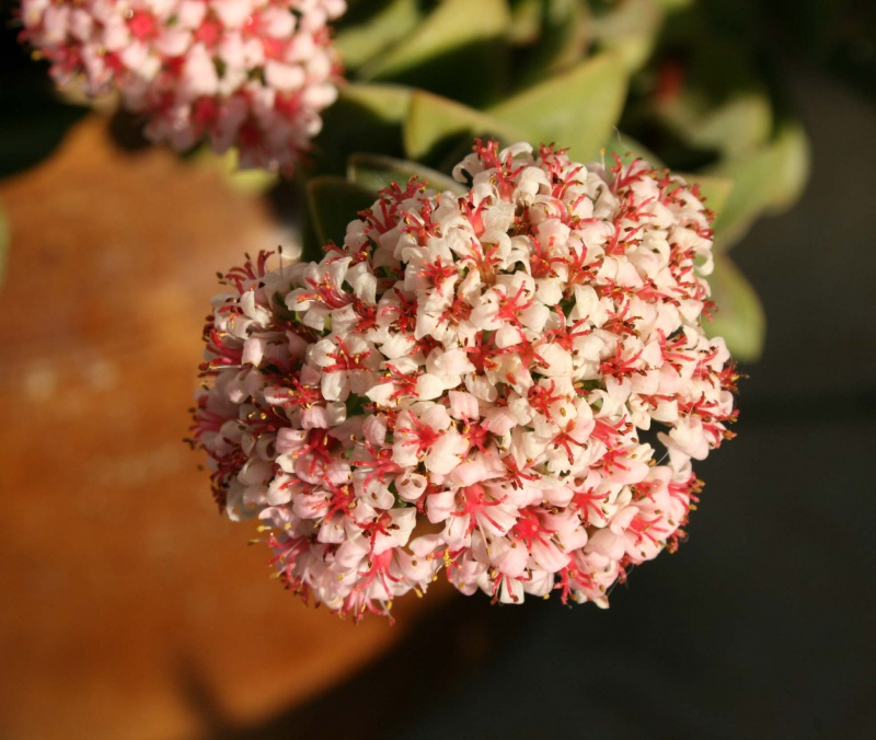 "Crassula 'Bride""s Bouquet' 463153crassulabridesbouquet"