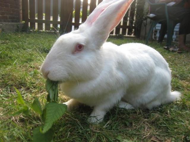 Association White Rabbit - Réhabilitation des lapins de laboratoire - Page 2 466511azur5