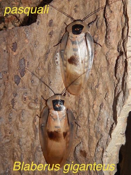Dispo en blattes, aranéo et réduves... 467937RSCN2483