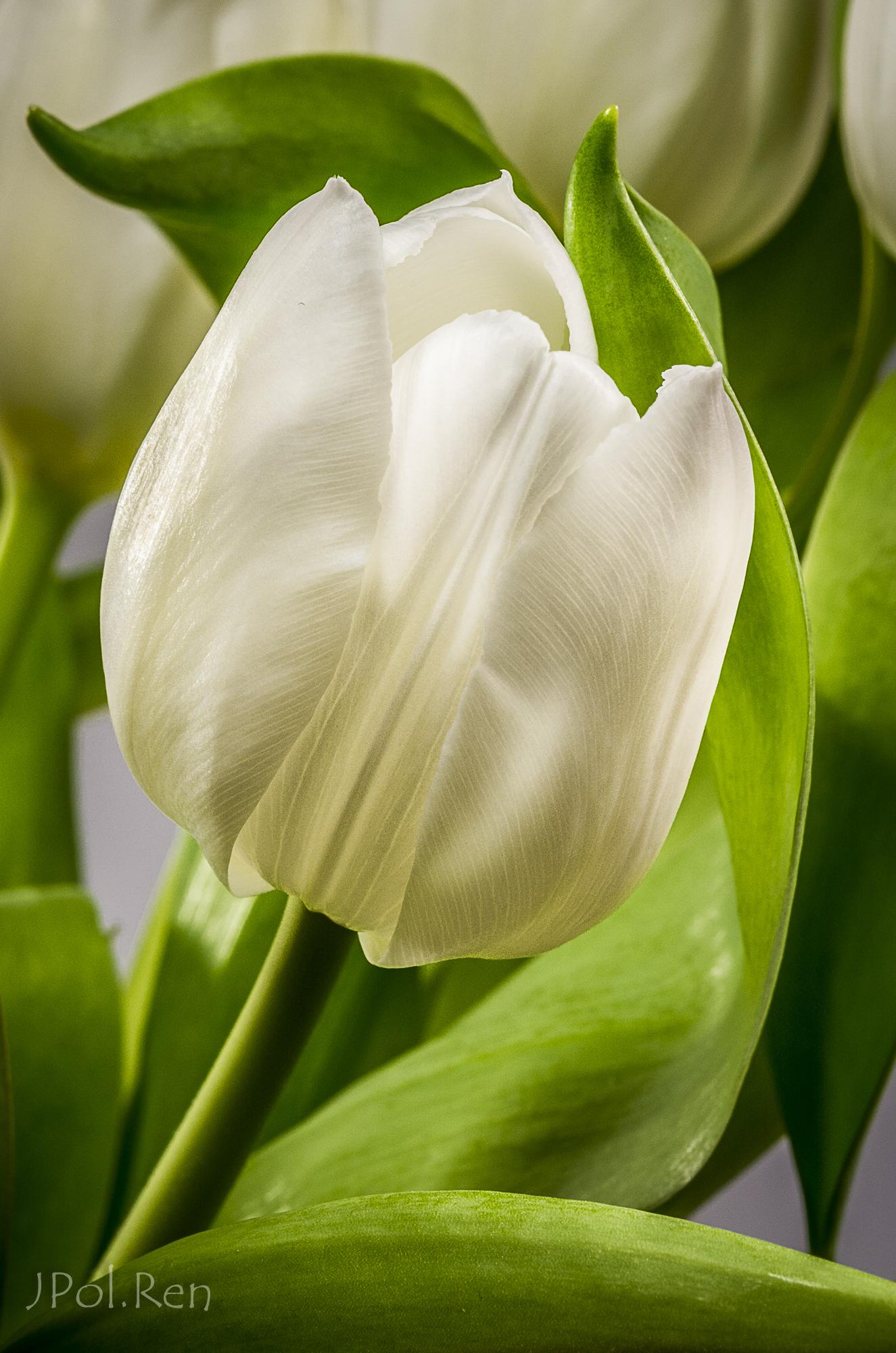 Belles tulipes 472747GB19tul0131