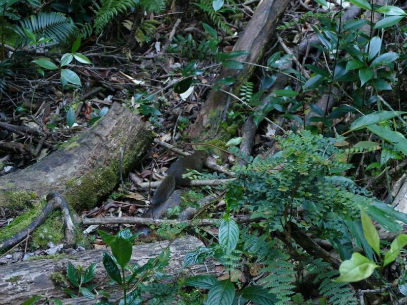 Nepenthes macrophylla sur le Mont Trus Madi à Borneo. 475995223102887969425471320472163894133632358356n