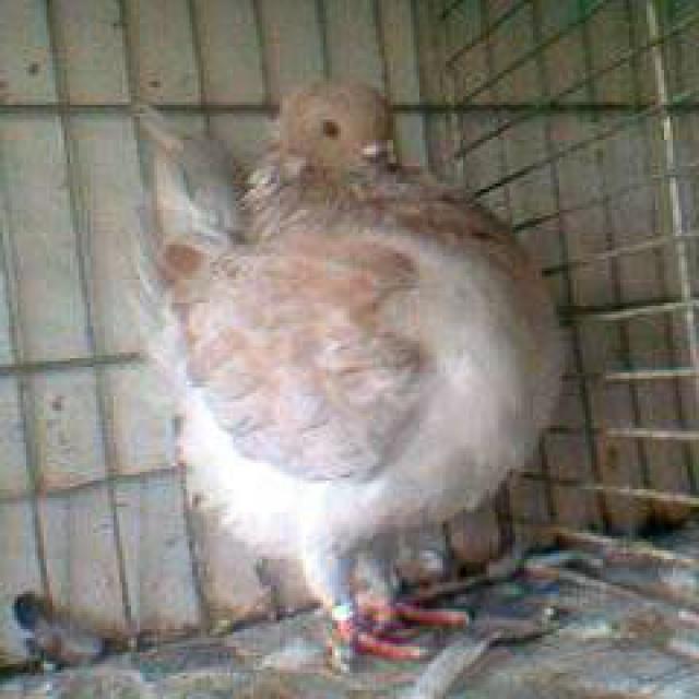 Pigeons 2015 - Page 2 477431Photo0849