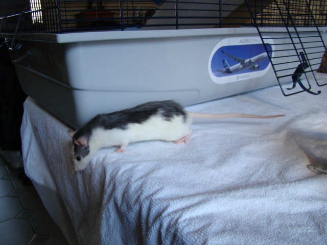 Entrée dans le monde des rats avec ces deux ptits ratous ! (NEWS 24/02 482131DSC00356