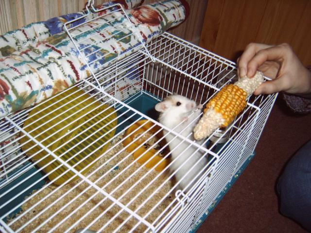 [ESPÈCE] Le hamster Syrien 483477BGS336209017804870_000037