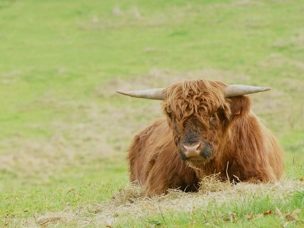 Vache Highland 486565highland